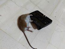 Ποντίκια καταπολέμηση