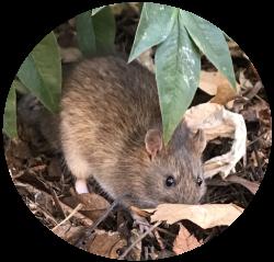Ποντίκια - Τρωκτικά