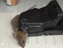 Οικιακός ποντικός σε παγίδα άμεσης θανάτωσης