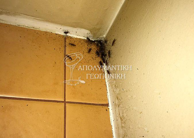 Περιττώματα και ακμαία ψιλής κατσαρίδας κουζίνας