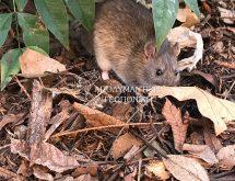 Ποντικός είδους Rattus Rattus