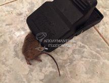 Ποντικός σε παγίδα θανάτωσης