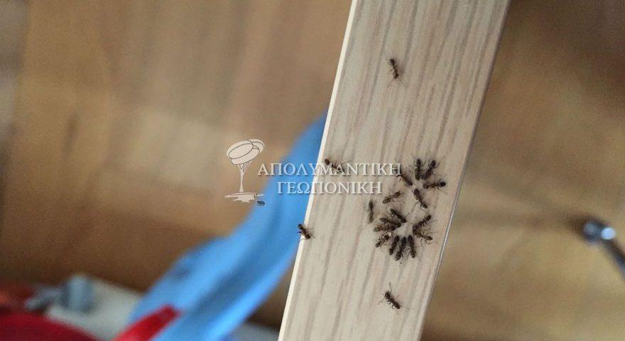 Πληθυσμός μυρμηγκιών λίγα λεπτά μετά την εφαρμογή του εντομοκτόνου δολώματος