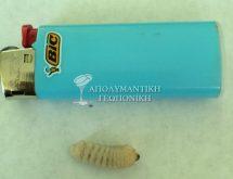 Προνύμφη ξυλοφάγου κολεοπτέρου (σαράκι ή σκουλήκι ξύλου)