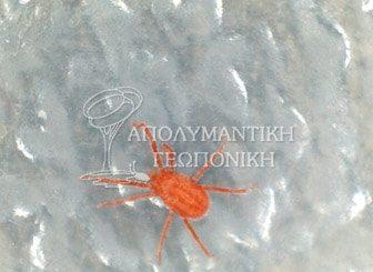 Άκαρι της οικογένειας erythraeidae
