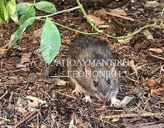 Ποντικός είδους Rattus Rattus σε πάρκο