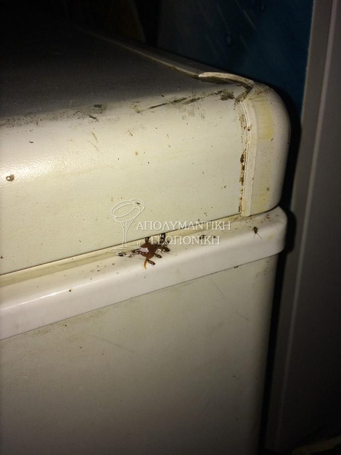 Ψιλή κατσαρίδα μετά την εφαρμογή δολώματος