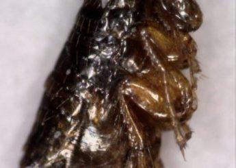 Δείγμα ψύλλου - Ψύλλος που βρέθηκε σε στρώμα