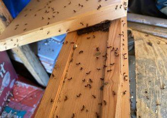 Ξυλοφάγα μυρμήγκια σε ξύλα