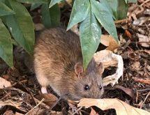 Ποντίκι σε κήπο εταιρίας